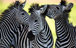 zebras_easyspecies
